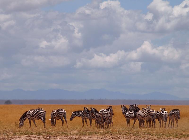 Zebras in Amboseli