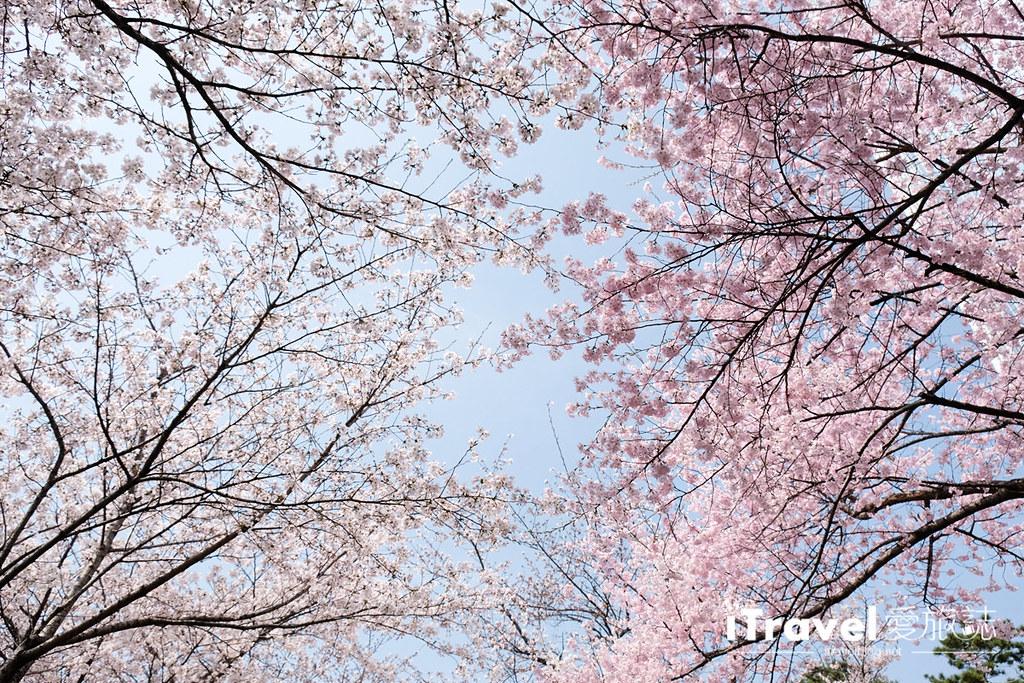 首尔赏樱景点 乐天塔石村湖 (17)