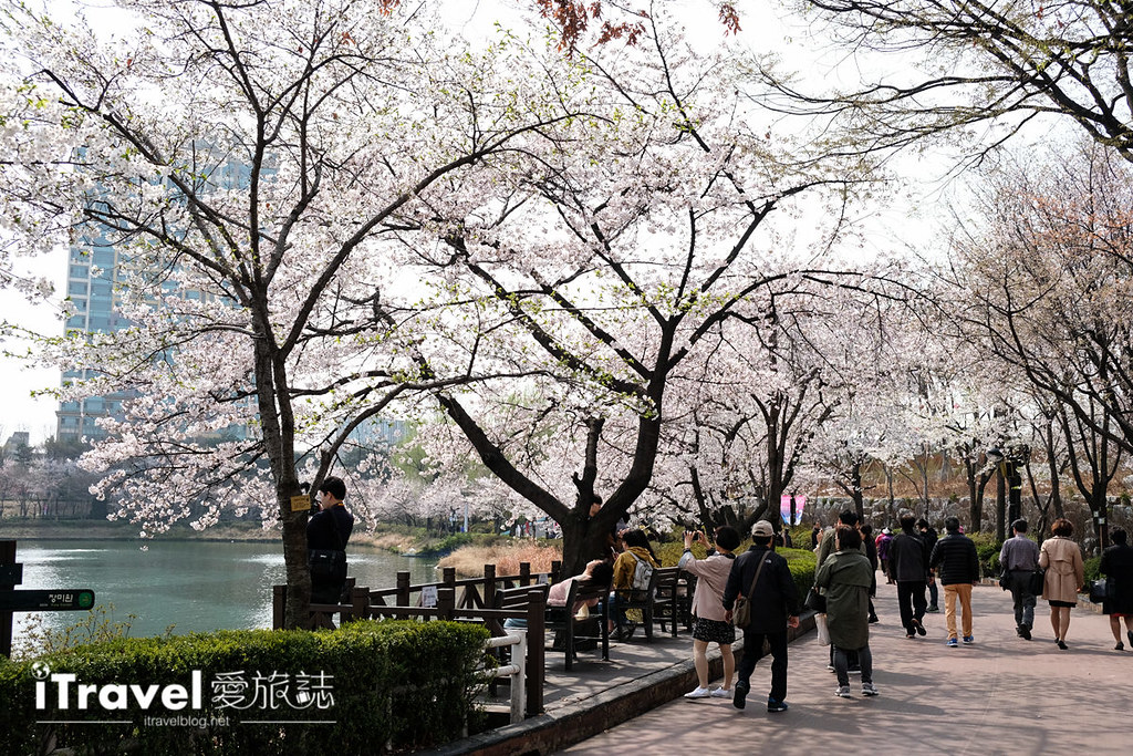 首尔赏樱景点 乐天塔石村湖 (4)