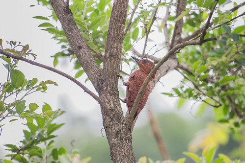 Rufous Woodpecker (male)