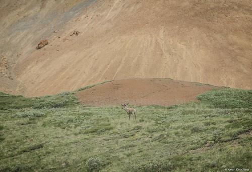 Caribou,Denali