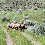 Goats on the Trail