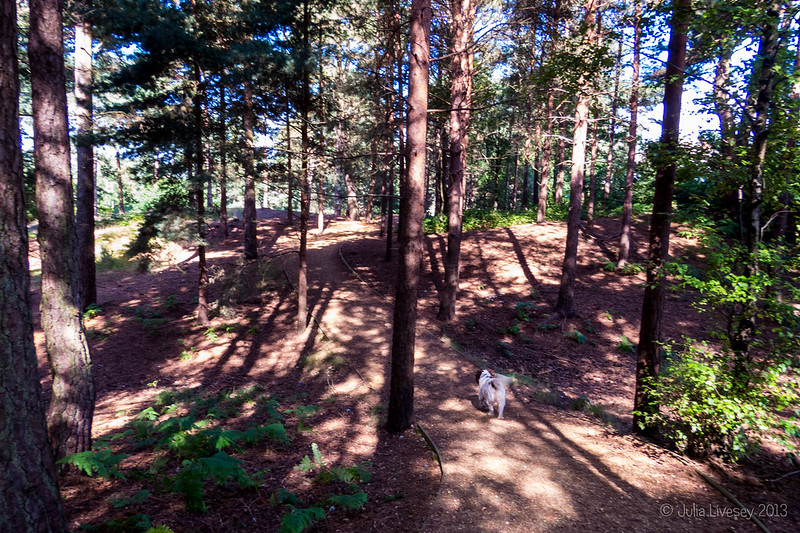 Max in the pines on Canford Heath