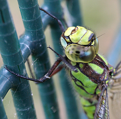 Southern Hawker Aeshna cyanea Tophill Low NR, East Yorkshire August 2013