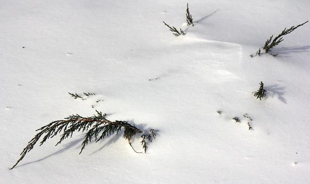 Juniperus virginiana 'Greguard'