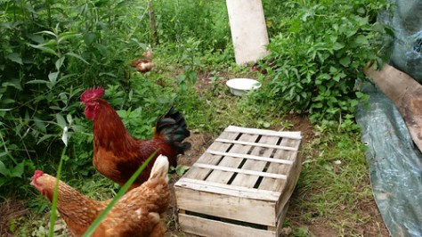Rooster and 3 chickens