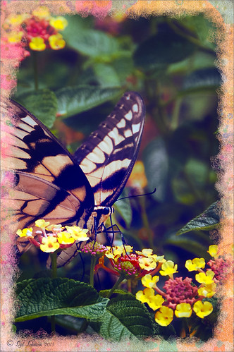 Eastern Tiger Swallowtail Butterfly image with special border effect