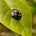 shield beetle ?