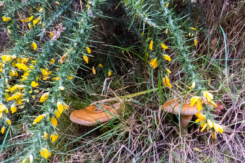 Roll Rim Fungi