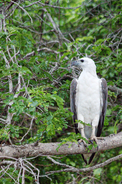White-bellied Sea-Eagle.
