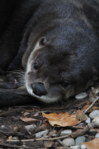 closeup on the face of a little sleepy-looking otter resting its chin on a pebbly, leafy ground. It is gazing into the air as though sleepy, reflective, or sad.
