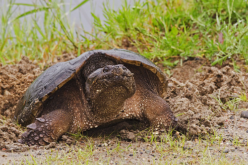 Daks: Snapping Turtle Laying Eggs in the Rain