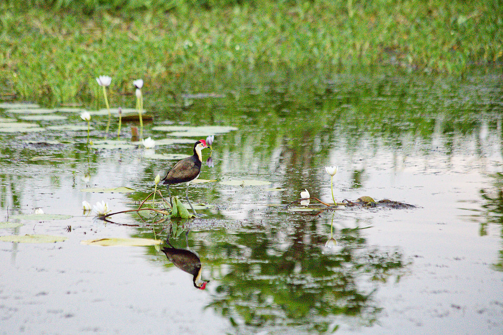 Comb-crested Jacana. These guys were fun to watch, as they danced from lilypad to lilypad.
