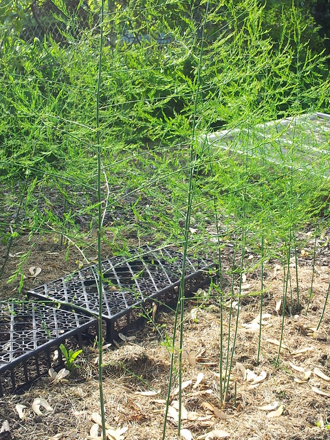 New Asparagus Shoots