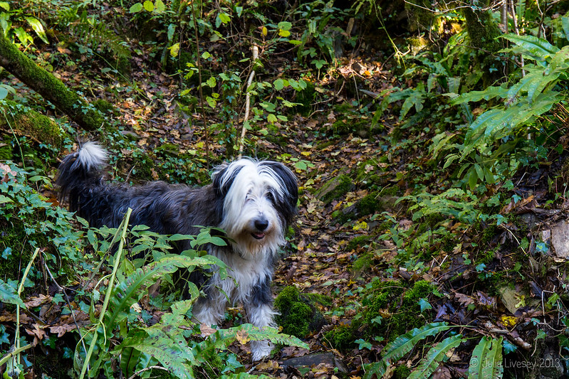 Zack, the Ranger's Bearded Collie