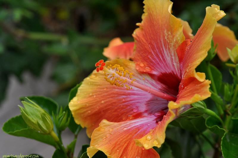 hibiscus_horiz_web