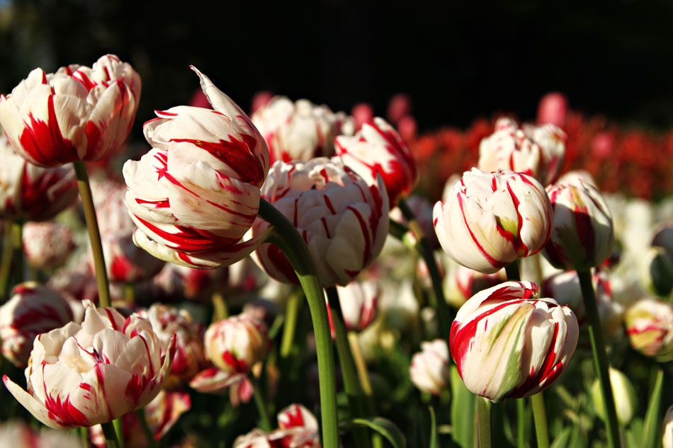 Istanbul Tulip Festival - Red/White Tulips