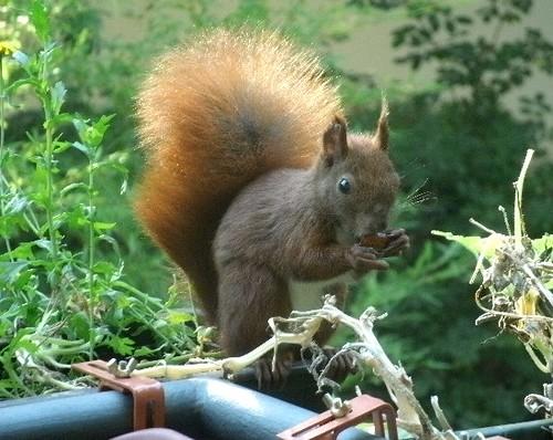 Hörnchen auf dem Balkon 4