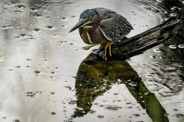 Green Heron in a silver pond
