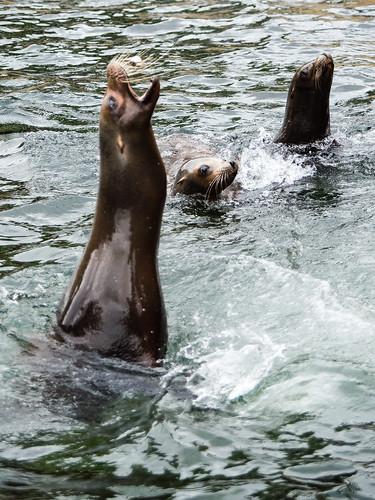 Sea lion catching fish