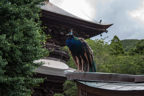 Temple's peacock