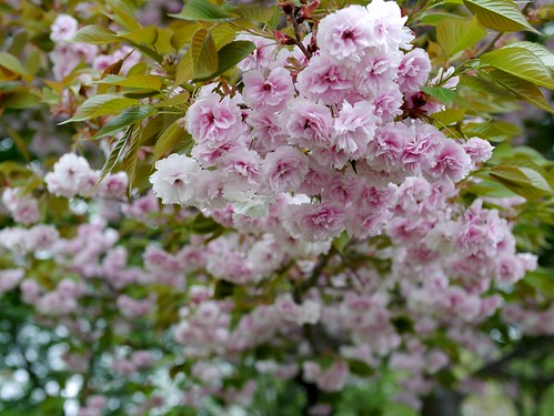 Sakura, Cherry blossom Fugenzo, 桜 普賢象