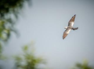 Kites at Boykin Mill-002
