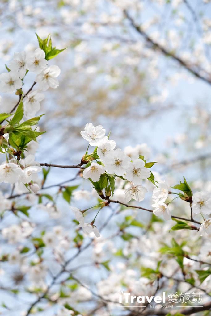 首尔赏樱景点 乐天塔石村湖 (9)