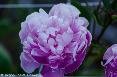 lavender peonies