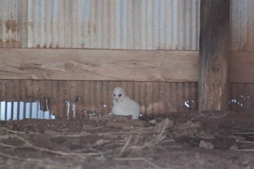 Baby owls in the barn!