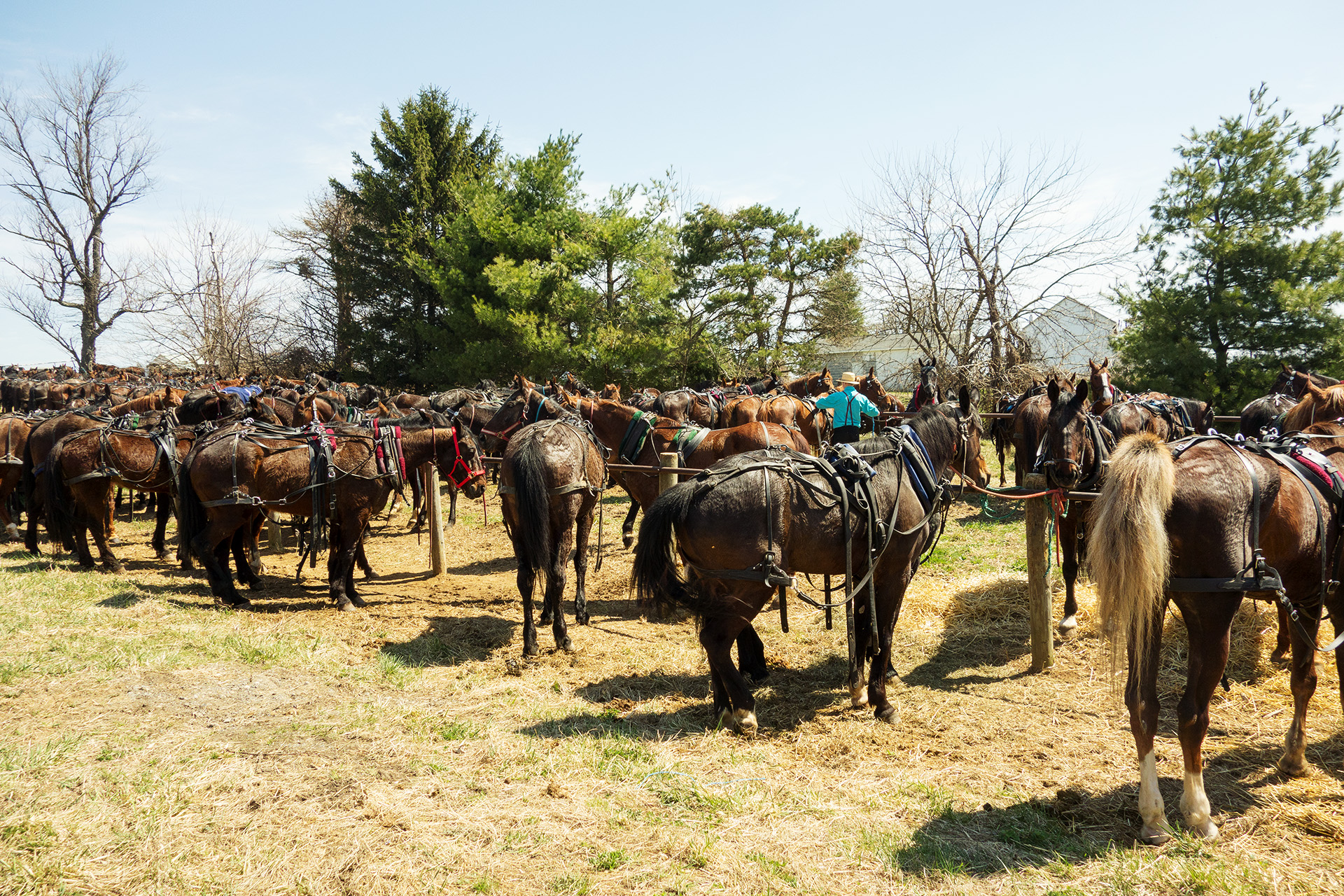 Horses tied up from Mud Sale attendees.