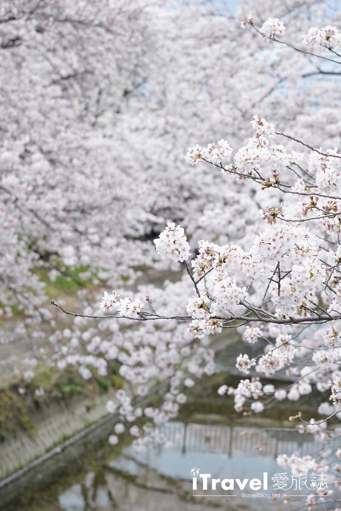 奈良赏樱景点 高田川千本樱 43