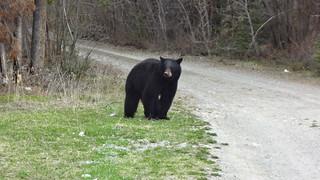 2013 - may - hwy 11 alberta - waterfalls, bear