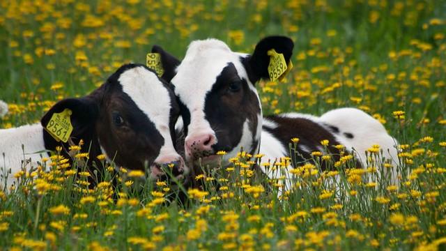 1_vacas-diarioecologia.jpg