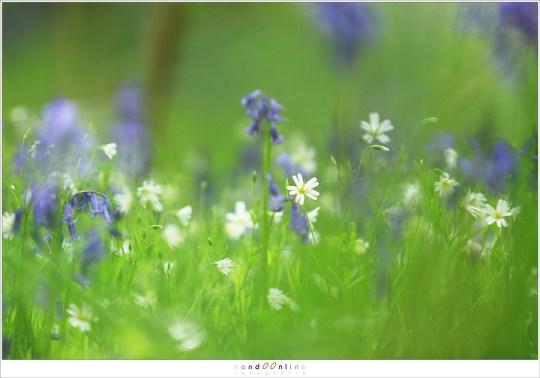 Akkerhoornbloem tussen het gras en de hyacinten