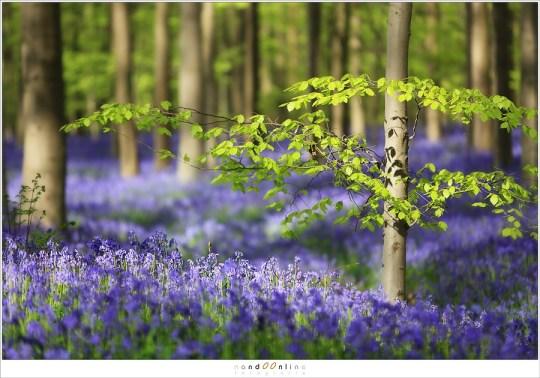 Een ander klassiek beeld van het Hallerbos: beuk en hyacint samen