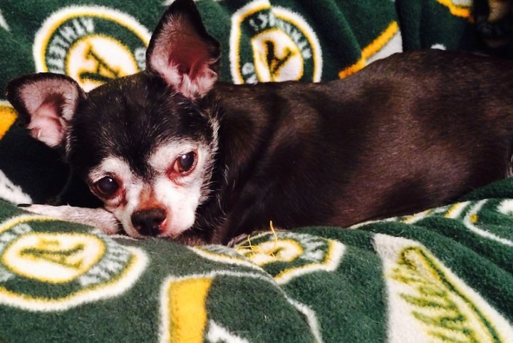 Cammie chillin' on the Oakland A's blanket.