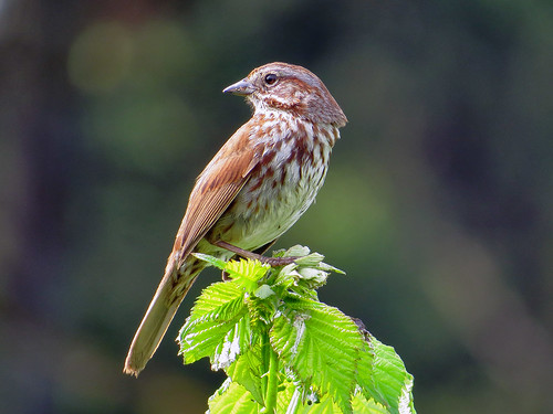 Song_Sparrow_by_Richard_Griffin_via_Birdshare_croppedAFB