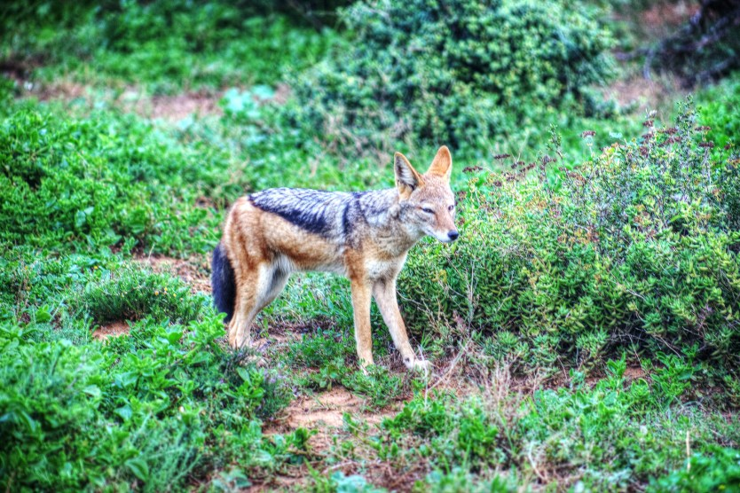 A black-backed jackal we were able to spot early one morning.