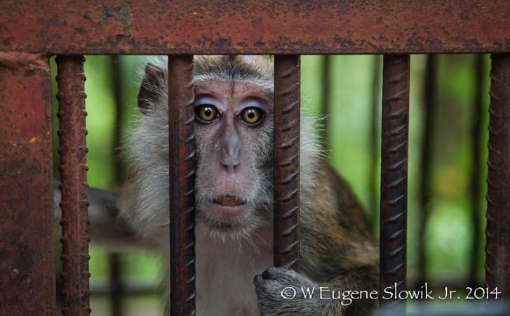 Philippines 2014, Cebu Zoo Monkey -02