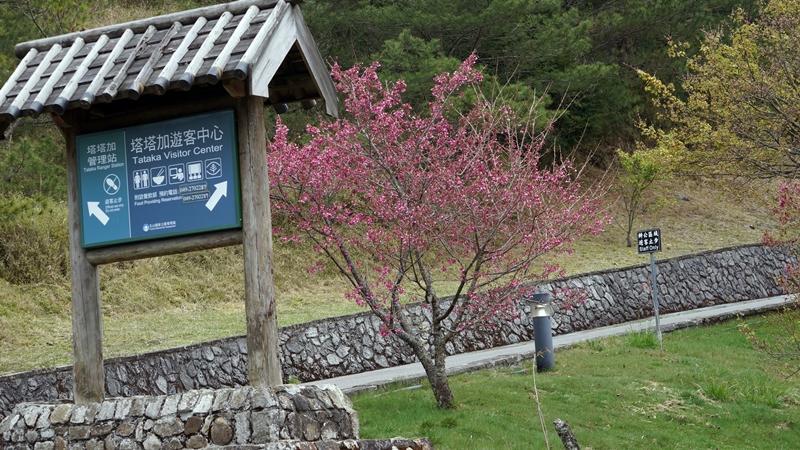 塔塔加 櫻花季