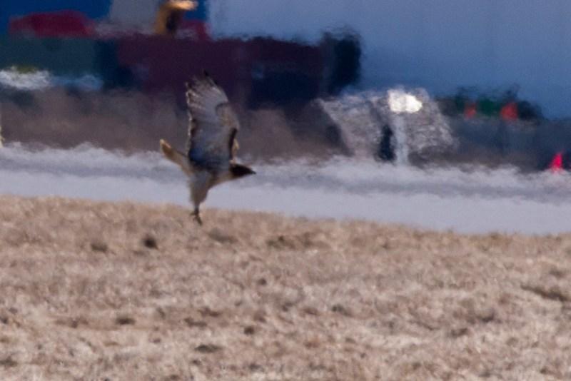_DSC6498 Red-tailed Hawk