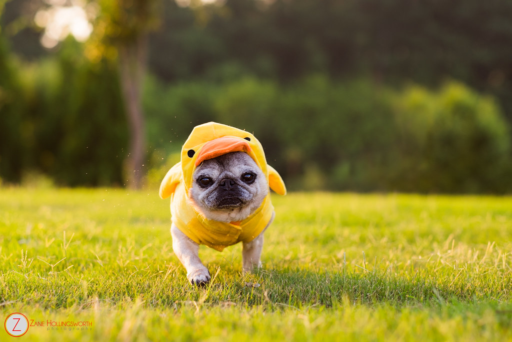 Free Cute Wallpaper Pictures Myrtle Turtle Pug Duck Myrtle Turtle Shooting