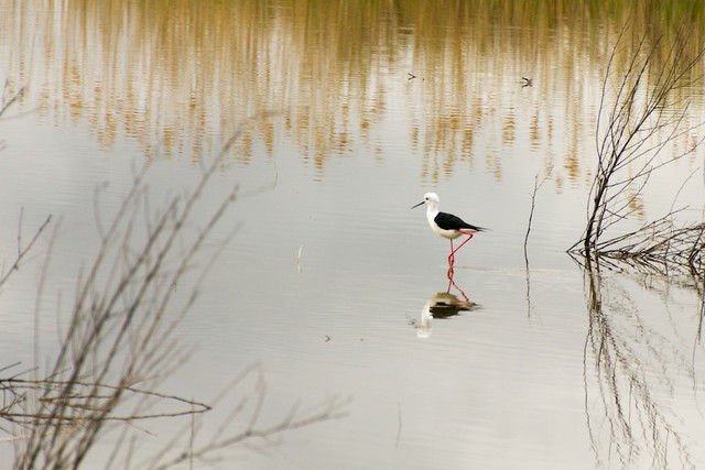 Black-winged Stilt pausing