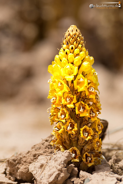 Yellow Cistanches on the edge of dessert