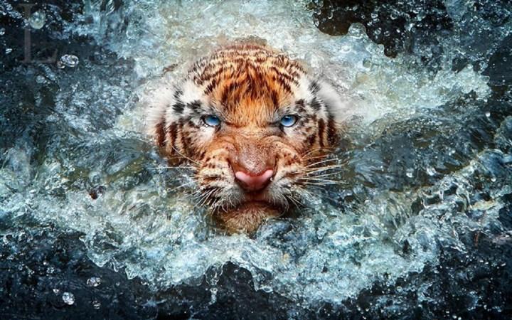 tiger-wildlife-photography-desktop-wallpaper