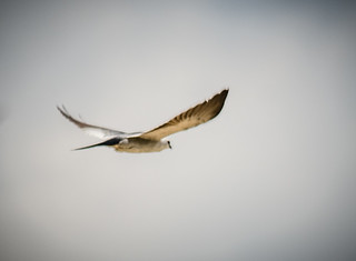 Kites at Boykin Mill-003