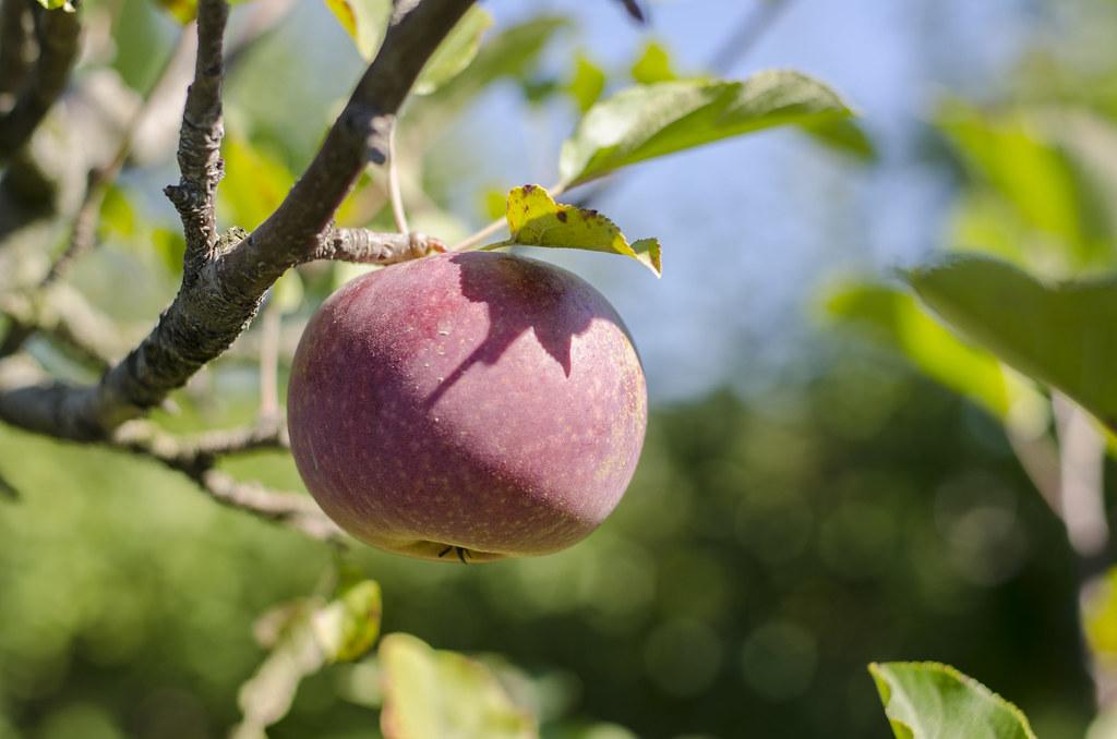 short story // apple picking 3