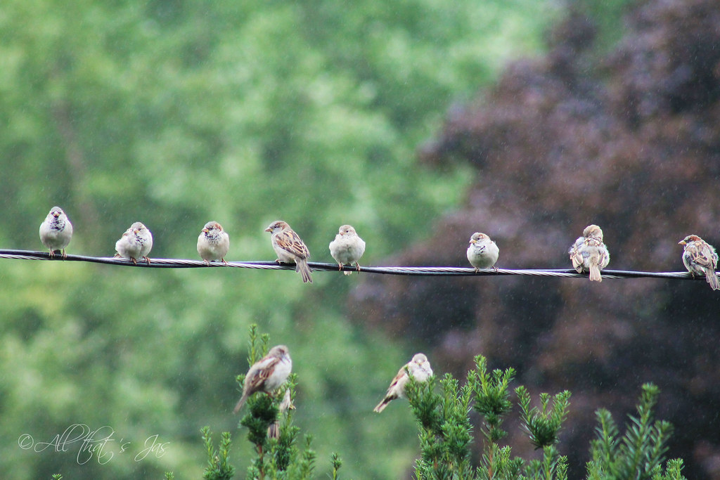 sparrows on the wire