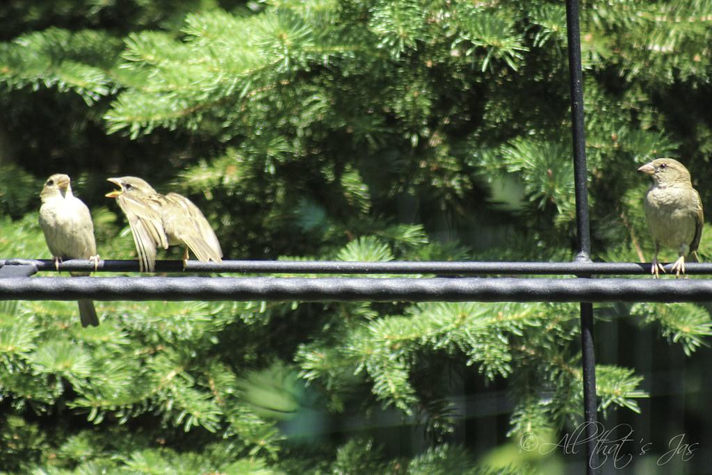sparrows - leave a caption